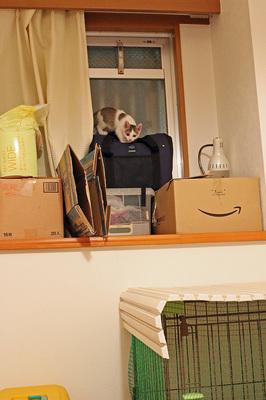 かなりやんちゃになって来た「チビ猫ミー」