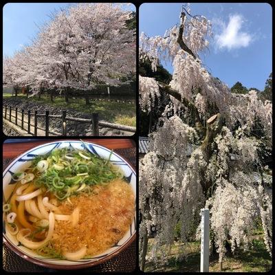 運転手で奈良の室生の大野寺の桜見物