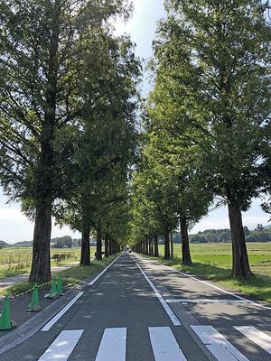 滋賀県高島市マキノ町の「メタセコイア並木」